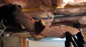 bat removal service in Westchester County, NY