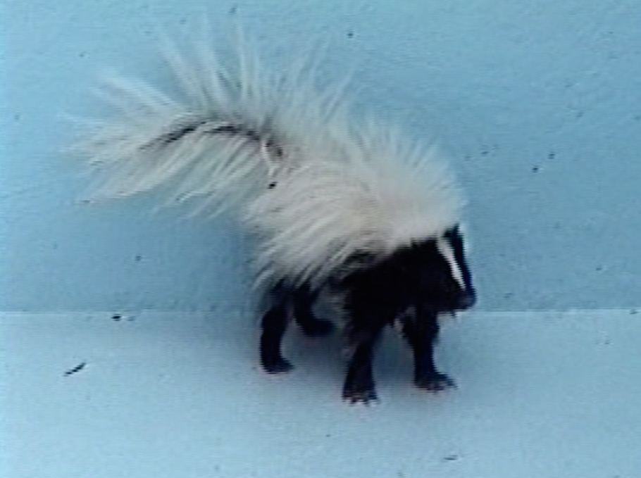 Skunk Removal Westchester, NY   Intrepid Wildlife Services