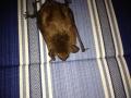 Big Brown bat on curtain