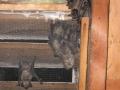 Big Brown Bats inside Attic