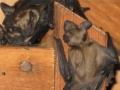 Young Bats in Attic