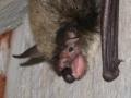 Big Brown Bat Mouth