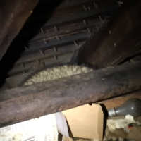 noises-in-the-attic-raccoon-westchester-ny