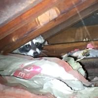 raccoons-in-attic-noises-in-the-attic