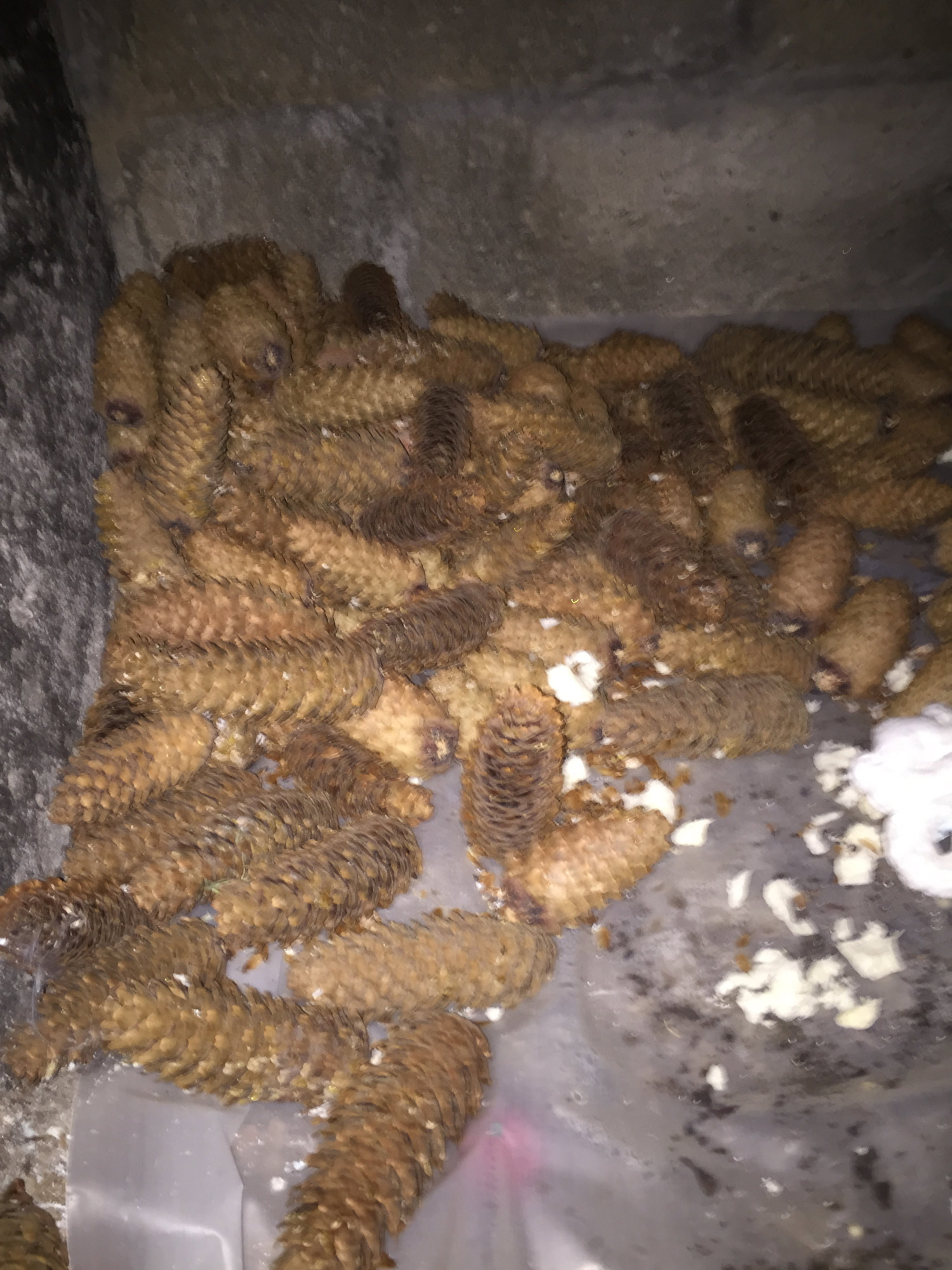 red-squirrel-noises-in-the-attic-food-storage