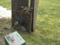 Raccoon caught next to deterrent system