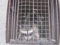 Multiple Raccoon Removal