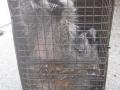 Multiple Raccoon Catch