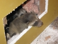 Raccoon Young in wall