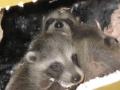 Raccoon Young