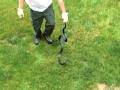 Black Snake in Backyard