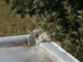 Squirrel on edge of roof