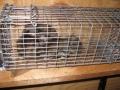Flying Squirrels in trap