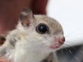 Flying Squirrel Close Up