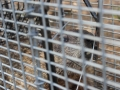 Woodchuck in Cage
