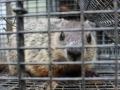 Woodchuck trapping