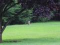 Woodchuck in yard