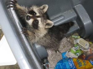Raccoon in the trashcan