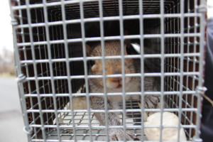 Squirrel Removal and Trapping