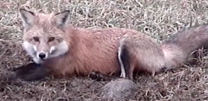Fox Removal Westchester NY