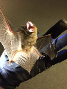 bat with rabies caught in westchester county NY