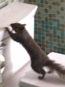 Emergency Squirrel Removal