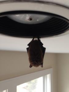 Bat Removal in Chappaqua NY