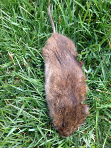 Vole Removal Company Westchester