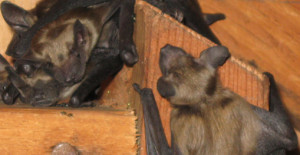 Bat Removal in Westchester