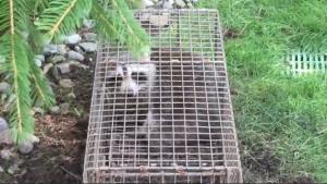 Raccoon Removal - White Plains, NY - Raccoon Trap