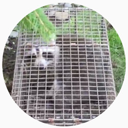 Raccoon Removal Westchester