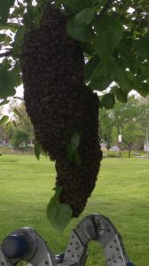 A swarm of honey bees we removed from a tree.