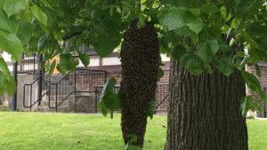 Another view of the honey bee swarm we removed.
