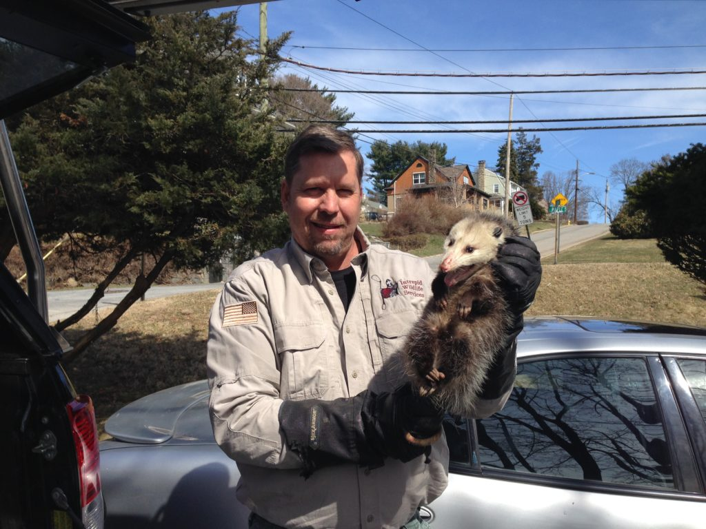 Wildlife Removal Service in Pelham, New York.