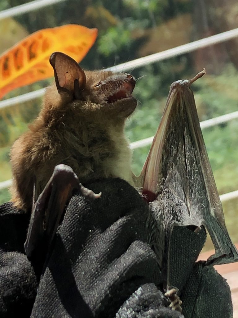 Emergency bat removal in Rockland County, NY.  Sent in for rabies testing.